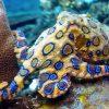 Синекольчатый осьминог – самый опасный морской обитатель