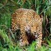 Леопарды-убийцы