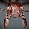 Укус муравья-пули — как выстрел из ружья