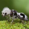 Муравей-панда — насекомое с секретом