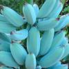 Синие бананы с острова Ява