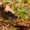 Гигантские крысы — лучшие саперы в мире