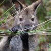 В лесу под Парижем живут 150 диких кенгуру